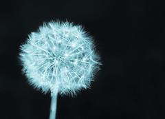 Starry Starry Night (Explored) (Katrina Wright) Tags: dsc9889 monochrome bokeh thursday hmbt dandelion fluffy seeds sparkle stars darkness