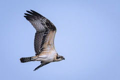 OneOfTheKids (jmishefske) Tags: 2018 d850 nikon hawk fish flying milwaukee riverside thiensville hunting flight river ozaukee august sky park osprey village county bif