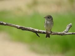 Moucherolle tchébec (zwitl) Tags: bird flycatcher