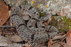 Crotalus lepidus klauberi (Nathan Shepard) Tags: crotalus lepidus klauberi banded rock rattlesnake mexico mx venomous snake reptile herpetology biology ecology mountains montane high elevation nathan shepard 70d canon sonora sierra madre occidental
