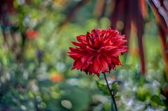 (kderricotte) Tags: bokeh depthoffield helios vintagelens helios44m458mmf2 flower plant outdoor sony sonya7ii ilce7m2