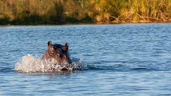 Hippo (sam-white) Tags: botswana okavango delta canon eos 40d wildlife hippo