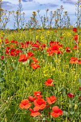 Summer Meadow (robinta) Tags: flowers meadow sunderland england wild nature colour poppies ngc canon 200d sigma sigma1770 field