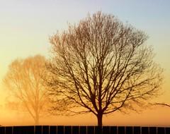 Golden Fog (Sue Fenton Photography) Tags: fog golden glow tree morning