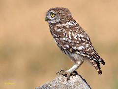 Athene noctua (Mochuelo europeo) (46) (eb3alfmiguel) Tags: aves pájaros rapaces nocturnas strigiformes strigidae mochuelo europeo athene noctua