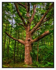 Mighty Oak (Timothy Valentine) Tags: summertrailchallenge tree rockvillagetrail wildlandstrust woodland large middleborough massachusetts unitedstates us 08018 2018