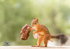 red squirrel holding bat, glove and a ball (Geert Weggen) Tags: card soccer adult authority concepts conceptstopics cutout exclusion forbidden foul holding ideas photography punishment referee serious showing sign soccerteam sport sportsofficial symbol teamsport yellow football animal squirrel rodent redsquirrel horizontal ball play game baseball bat runglove bispgården jämtland sweden geertweggen geert weggen ragunda hardeko