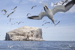 Diving Gannets (Mike Clark 100) Tags: mikeclark bass rock scotland gannets diving bird volcanic plug fishing dive sea