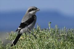 Loggerhead Shrike (Lanius ludovicianus) (NDomer73) Tags: 08july2018 june 2018 malheurnationalwildliferefuge malheurnwr malheur burns bird northernshrike shrike