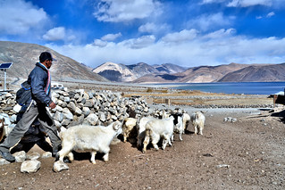 Changpa Tribesman at Pangong Tso with his Herd of Pashmina Goats