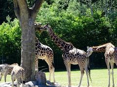 Rothschild's giraffes (Nemoleon) Tags: aalborgzoo june 2018 rothschildsgiraffe giraffacamelopardalisrothschildi dsc01121