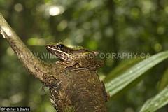 41372 Hose's Rock frog (Odorrana hosii) by a stream in lowland rainforest, near Ipoh, Perak, Malayisa. IUCN=Least Concern. (K Fletcher & D Baylis) Tags: wildlife animal fauna amphibian frog ranidae treefrog greentreefrog hose'sfrog hosesrockfrog poisonousrockfrog odorranahosii lowlandrainforest leastconcern perak malaysia asia june2018 hosesfrog
