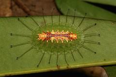 "Limacodid Slug Caterpillar (Cup Moth, Idonauton apicalis, Limacodidae) ""Supernova"" (John Horstman (itchydogimages, SINOBUG)) Tags: insect macro china yunnan itchydogimages sinobug entomology cup moth lepidoptera limacodidae slug caterpillar larva above supernova topf25 tweet tumblr fbl topf50"