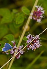 Adonis Blue Butterfly (ianbartlett) Tags: outdoor macro landscape wildlife nature birds butterflies dragonflies cattle flight flowers colour light shadows clouds