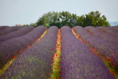 Lavande (michel David photography) Tags: lavande valensole flower fleurs