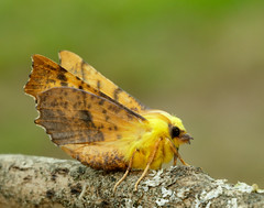 Canary-shouldered Thorn Ennomos alniari (Iain Leach) Tags: wildlifephotography photograph image wildlife nature iainhleach wwwiainleachphotographycom canon canoncameras photography macro macrophotography closeup butterfly moth lepidoptera insect invertebrate canaryshoulderedthorn ennomosalniari