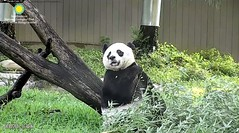 2018_08-14c (gkoo19681) Tags: meixiang beautifulmama sopretty proudmama adorableears brighteyed fuzzywuzzy toofers breakfastboo contentment foreveryoung toocute beautifuleyes tranquil quiettime majestic angelic precious darling royalty amazing perfection ccncby nationalzoo