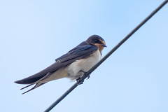 Swallow..... (klythawk) Tags: swallow hirundorustica wildlife nature summer blue orange grey black white olympus omd 100400mm panasonic leica em1 mkll em1mkll strete southdevon birdonawire klythawk