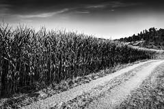 cornfield - Google Pixel 2 (Andreas Voegele) Tags: googlepixel2 pixel2 pixel googlepixel andreasvoegelephoto cloud landschaft landscape street bw cornfield
