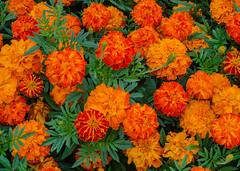 Orange flowers (frankmh) Tags: plant flower orangeflower sofiero helsingborg skåne sweden