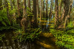 In the Dome (J.Coffman Photography) Tags: walk season wet preserve state fl sunshine wilderness hiking hike d810 nikon clouds marsh forest states united florida big cypress national park landscape trees water reflections