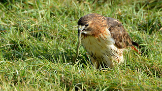 Red Tail Hawk with Garter Snake