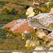 Temminck's Stint (Calidris temminckii)
