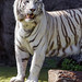Male white tiger posing...
