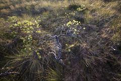 20180721. Pilkuse Landscape Reserve. 9221 (Tiina Gill (busy)) Tags: estonia pilkuse nature landscapereserve bog outdoor pine summer