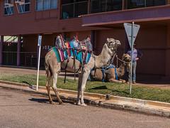 Camels at Australian Hotel Burke St Boulia Queensland P1030411aa (john.robert_mcpherson) Tags: camels australian hotel burke st boulia queensland