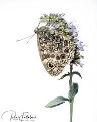 Wall Brown (Ron Fullelove) Tags: lasiommatamegera wallbrown melanargiagalathea butterfly britishwildlife britishbutterflys macro ronfullelove flower summertime wildflowermeadows