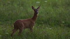 Clover is so yummy (redfurwolf) Tags: wildlife deer animal field nature clover outdoor outdoors redfurwolf feeding sonyalpha sony a7rm3 tamron150600g2