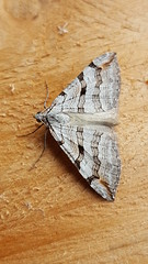 20180812_113253 (Paul Young1) Tags: stjohnswortinchworm geometridae treblebar aploceraplagiata 1 one single moth moths animal animals insect insects insecta arthropod arthropods arthropoda lepidoptera nature wild wildlife uk british britain perched perching close study imago unitedkingdom closeup top topview openwings