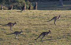 Bounding Greys (OzzRod) Tags: pentax k3 hdpentaxdfa150450mmf4556 animals wildlife kangaroos easterngrey bungabeach nswfarsouthcoast