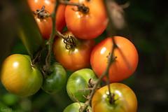 実 (fumi*23) Tags: ilce7rm3 sony manualfocus 55mm aimicronikkor55mmf28s nikon nikkor tomato vegetable fruit plant a7r3 fmount 植物 トマト ニコン ニッコール 野菜