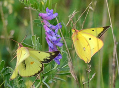Clouded Sulphur Butterfly Courtship (ctberney) Tags: cloudedsulphur butterflies coliasphilodice insects flying yellow cowvetch purple nature