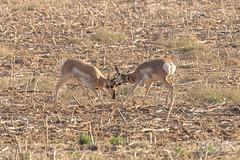 Pronghorn bucks battling