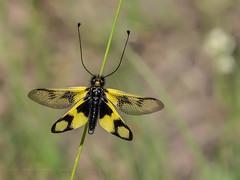 Croatia - Sulphur Ascalaphid (Owlfly) - Libelloides coccajus (June 6th) (ArtFrames) Tags: ascalaphid croatia naturetrek butterflies sulphur owlfly libelloides coccajus