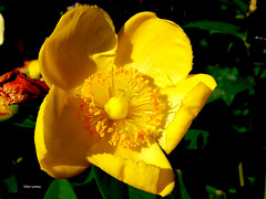 flower (verridário) Tags: flor macro amarelo yellow amarillo sony coresvivas cor natura flower jaune giallo 黄色 gelb желтый blume цветок fiore çiçek 花 nature flora belle fleure