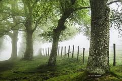 Un día cualquiera de primavera (Jabi Artaraz) Tags: urkiola primavera udaberria niebla seto alambre robles abedules urkia haritza