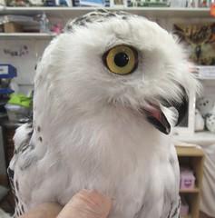 Elsa,the snowy owl (billnbenj) Tags: barrow cumbria owl snowyowl raptor birdofprey