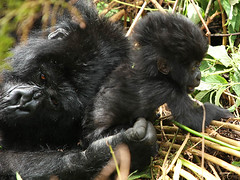 Gorillas in Volcanoes National Park (Rwanda) : mum and baby (lotusblancphotography) Tags: africa afrique rwanda nature animal wildlife faune gorilla gorille