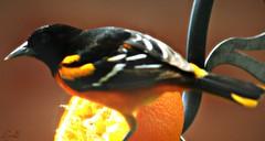 Orioles are still here (Lynn English) Tags: oriole feeder orange