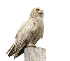 Snowy Owl (ksblack99) Tags: snowyowl buboscandiacus owl
