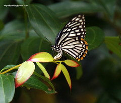 IMG_6071 Common Mime (Chilasa clytia)-Type-dissimilis (vlupadya) Tags: greatnature animal fauna lepidoptera arthropoda insecta common mime chilasa dissimilis kundapura karnataka
