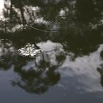 海濛果花 Cerbera manghas's flower thumbnail