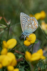 Common blue butterfly #2 (Lord V) Tags: macro bug insect butterfly commonblue