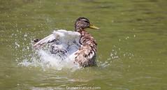 Camargue (fauneetnature) Tags: cane duck ornithology ornithologie oiseaux bird animalier animal camargue nature oiseau faune