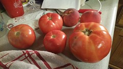 Big Tomato! (Adventurer Dustin Holmes) Tags: food produce 2018 tomato tomatoes peach peaches fruit indoor missouri ozarks picked spoonrest towel handtowel cloth cup plasticcup kitchen lebanonmo lebanonmissouri lacledecounty
