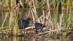 Calamón común (Porphyrio porphyrio) (jsnchezyage) Tags: calamóncomún porphyrioporphyrio ave bird birding ornithology beak feather purplegallinule purpleswamphen